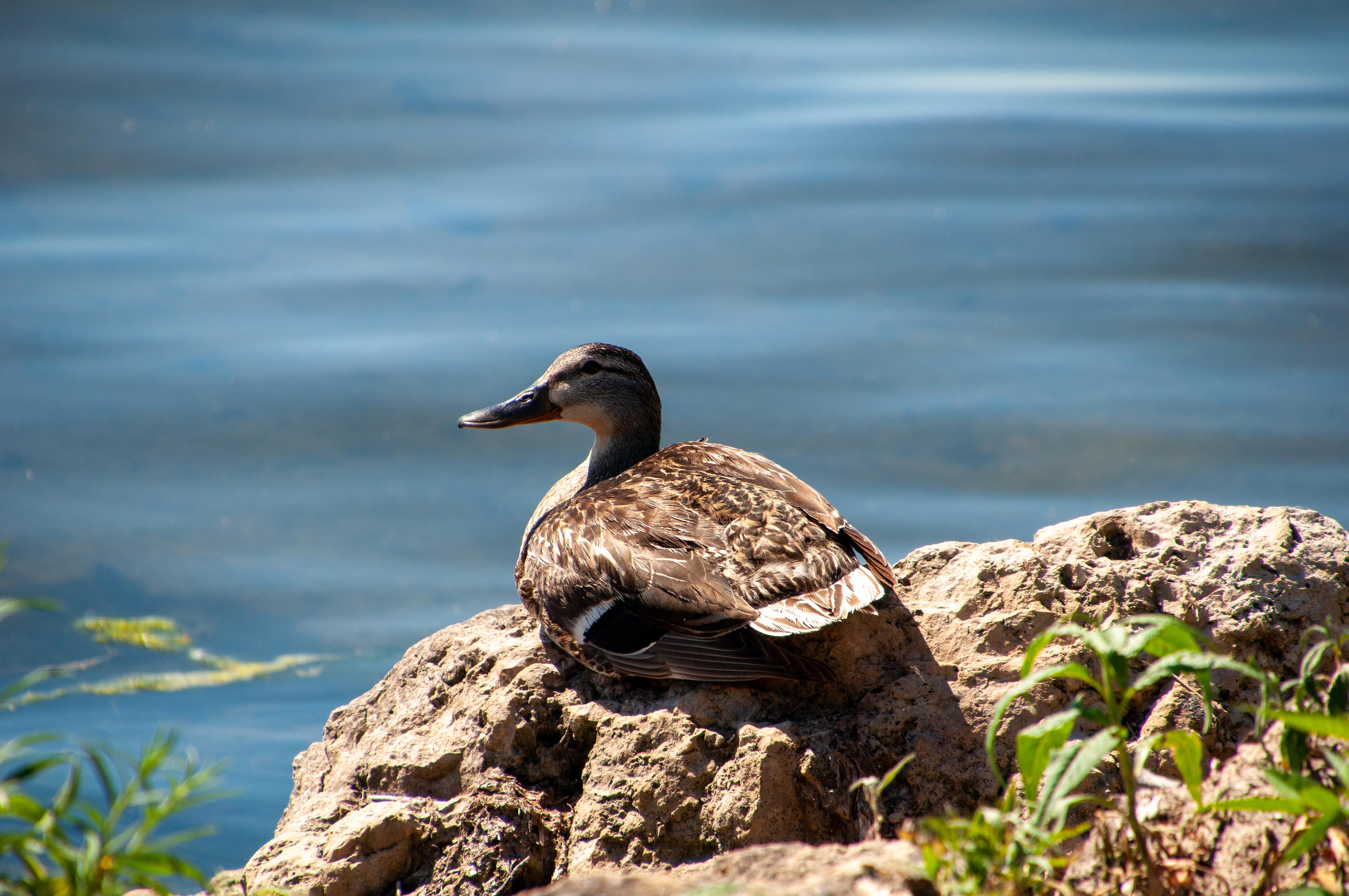 Duck enjoying the lake