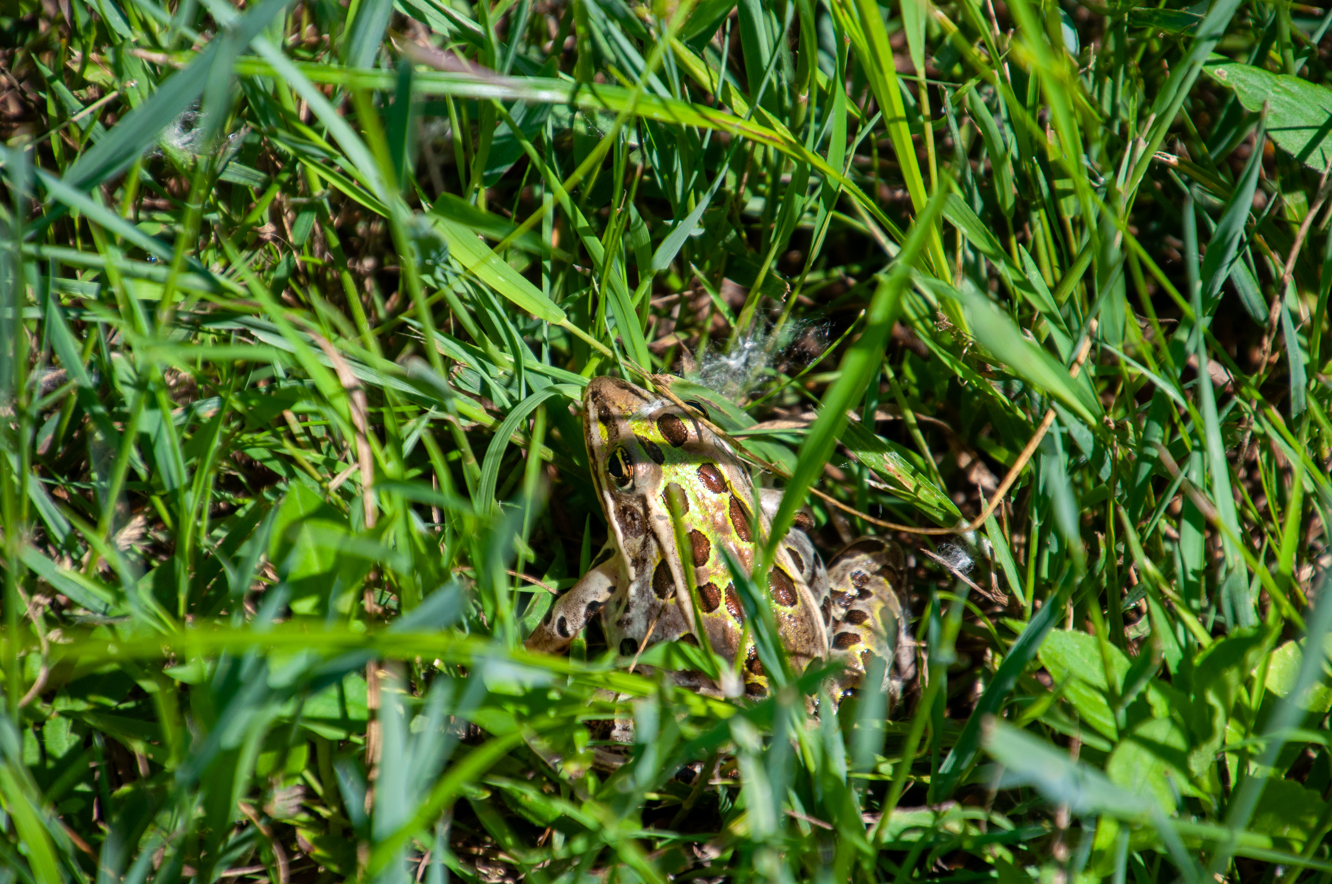 Toad at Governor Nelson State Park